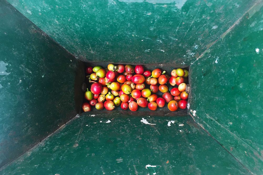 Coffee fruit before processing