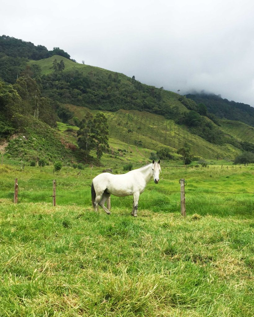 Horse in field at Valle de Cocora, colombia