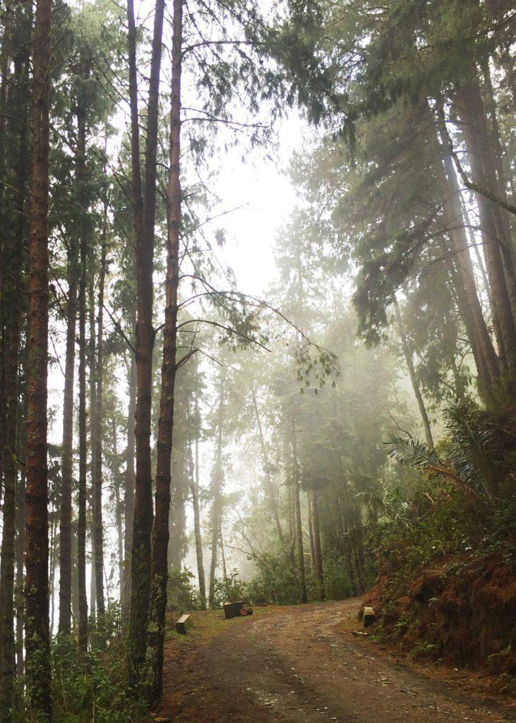PIne forest next to Finca la Montaña, Colombia