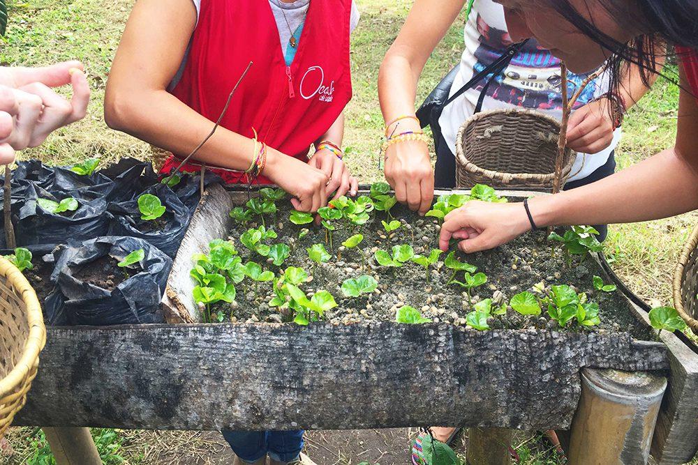 Seedlings of coffee plants, Salento, Colombia