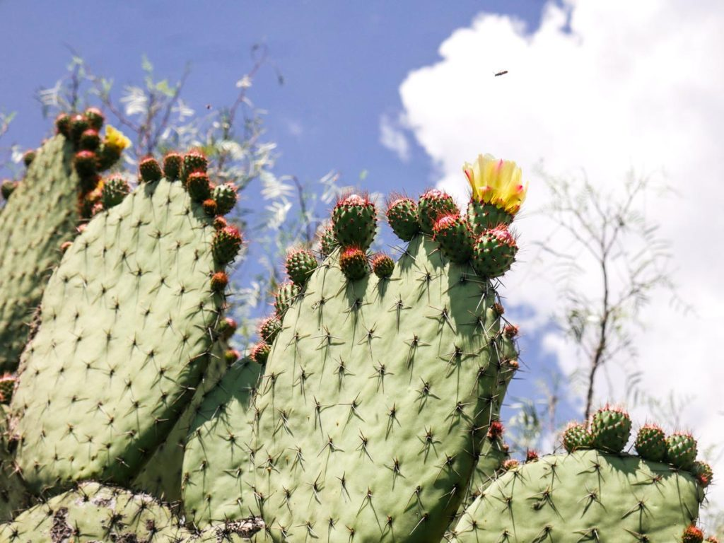 cactus at teotihuacan
