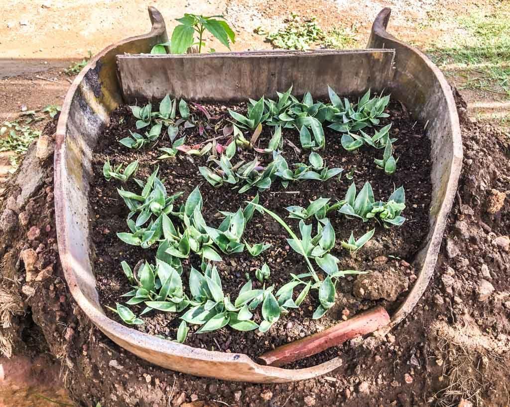 planting agaves oaxaca