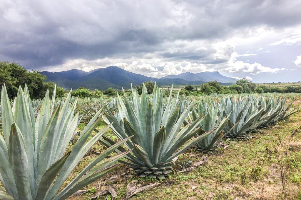 agave fields santiago matatlan