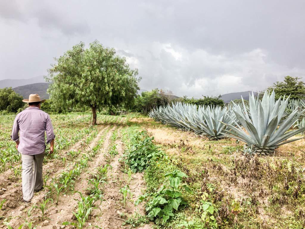 agave fields oaxaca mezcal tour