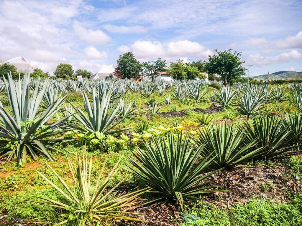 agave planting oaxaca mezcal