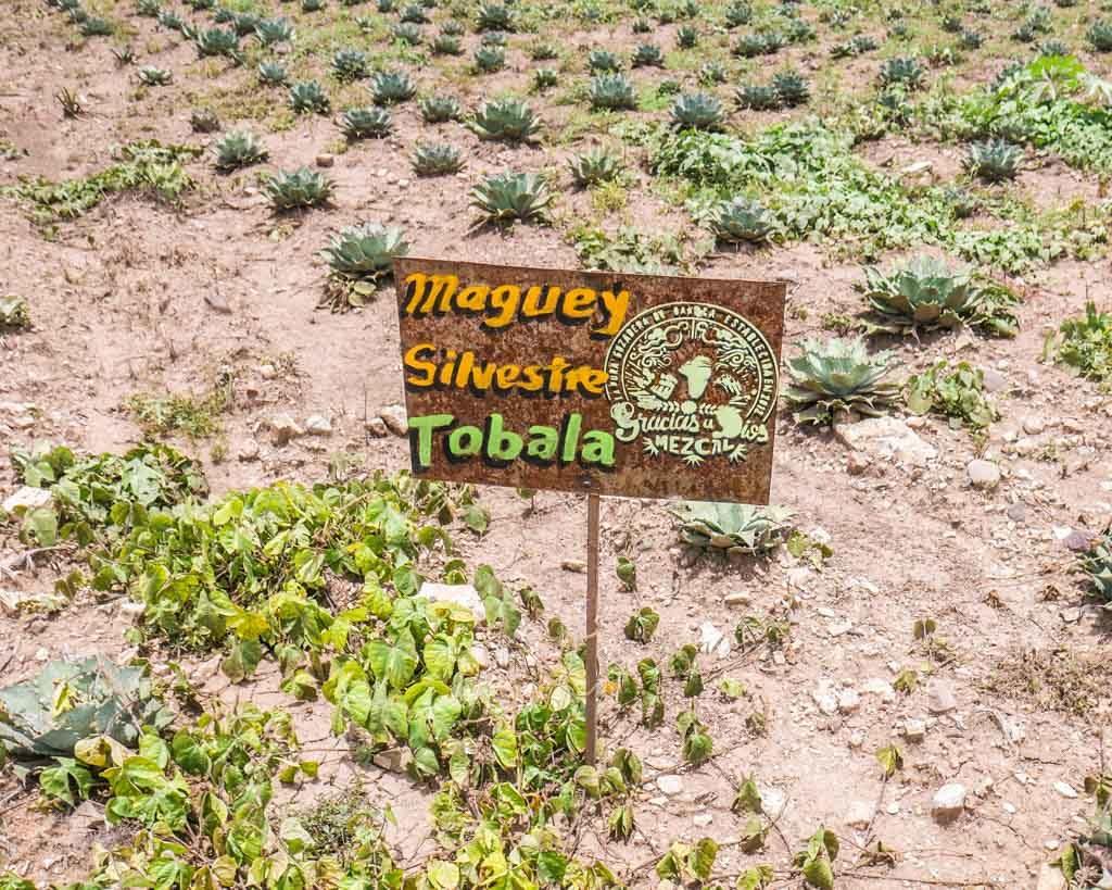 mezcal planting santiago matatlan oaxaca