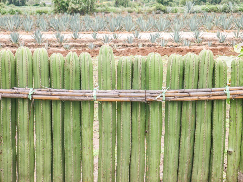 agave and cactus in santiago matatlan