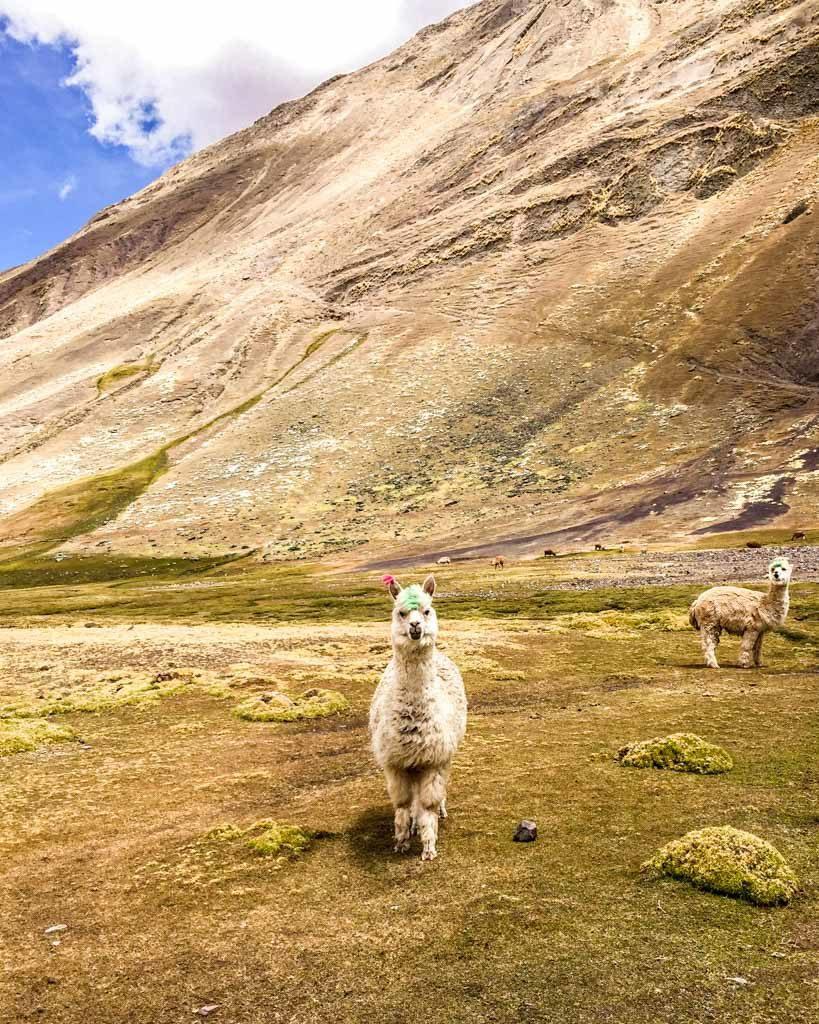 alpaca ausangate rainbow mountain