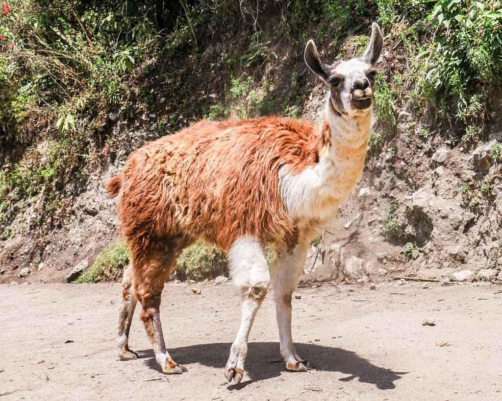 llama short inca trail hike