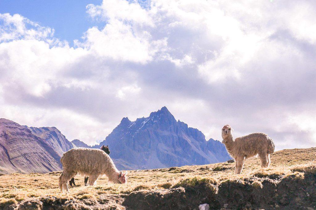 alpaca in ausangate mountains
