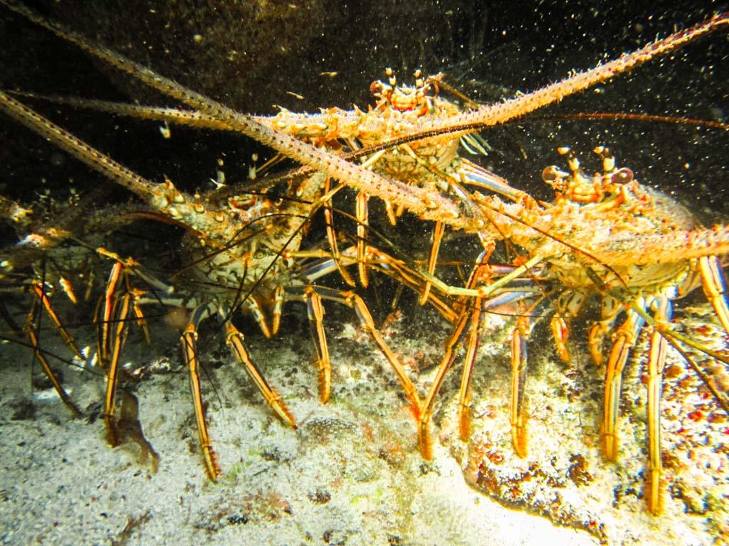 lobster cayos cochinos