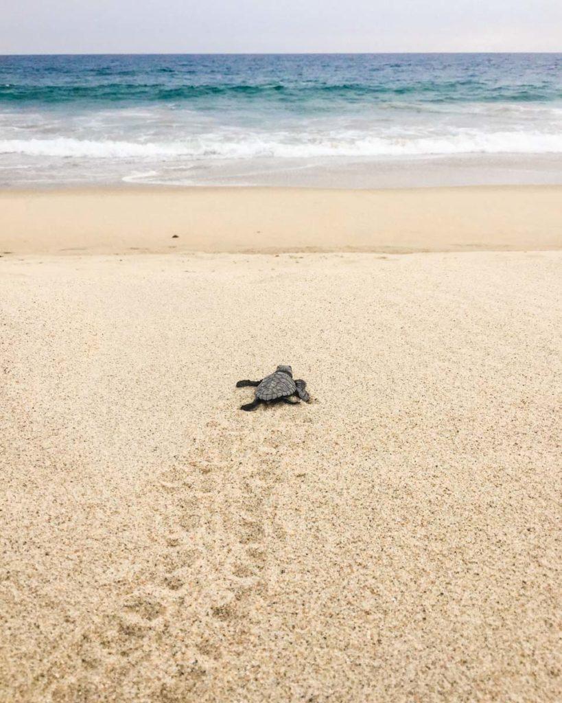 turtle release puerto escondido playa bacocho