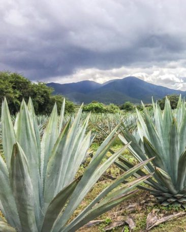 oaxaca retreats food tour mezcal farmLR