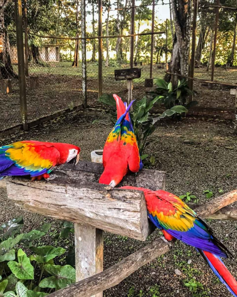 guacamayas birds in chiapas jungle